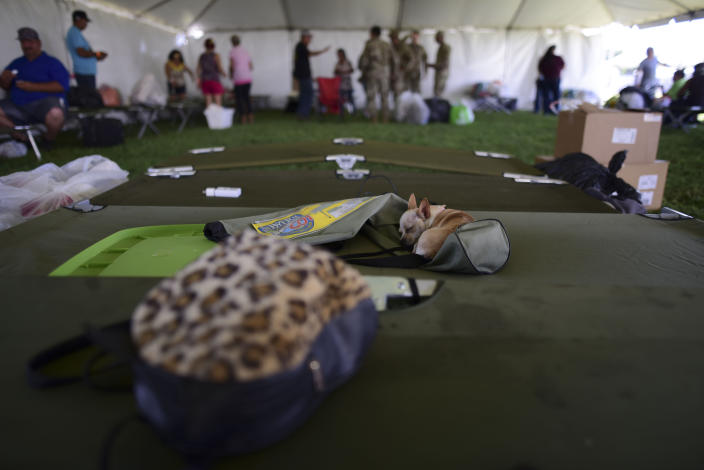 A chihuahua dog sleeps on a cot in a tent city for hundreds of people displaced by earthquakes in Guanica, Puerto Rico, Tuesday, Jan. 14, 2020. A 6.4 magnitude quake that toppled or damaged hundreds of homes in southwestern Puerto Rico is raising concerns about where displaced families will live, while the island still struggles to rebuild from Hurricane Maria two years ago. (AP Photo/Carlos Giusti)