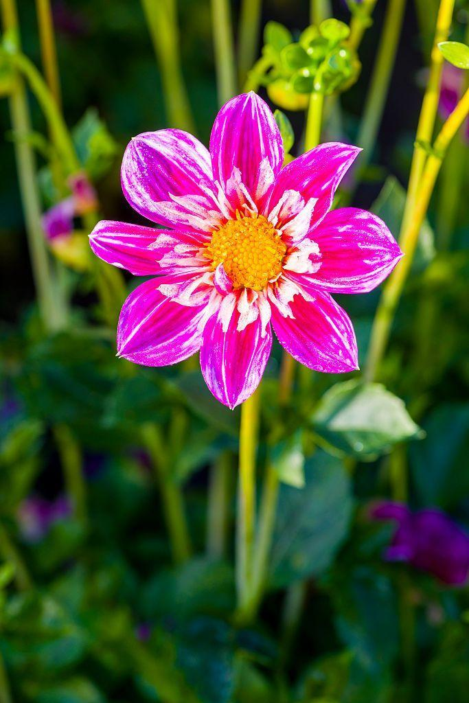 """<p>Dahlias come in a rainbow of colors and thrive in well-drained, <a href=""""https://www.almanac.com/plant/dahlias"""" rel=""""nofollow noopener"""" target=""""_blank"""" data-ylk=""""slk:rich soil"""" class=""""link rapid-noclick-resp"""">rich soil</a>. They bloom from midsummer to first frost, so there's still time to take in their beauty. </p><p><strong>Bloom seasons: </strong>Summer and fall</p><p><a class=""""link rapid-noclick-resp"""" href=""""https://www.springhillnursery.com/product/philadelphia-dinnerplate-dahlia-mix?p=0475639"""" rel=""""nofollow noopener"""" target=""""_blank"""" data-ylk=""""slk:SHOP DAHLIAS"""">SHOP DAHLIAS</a></p>"""