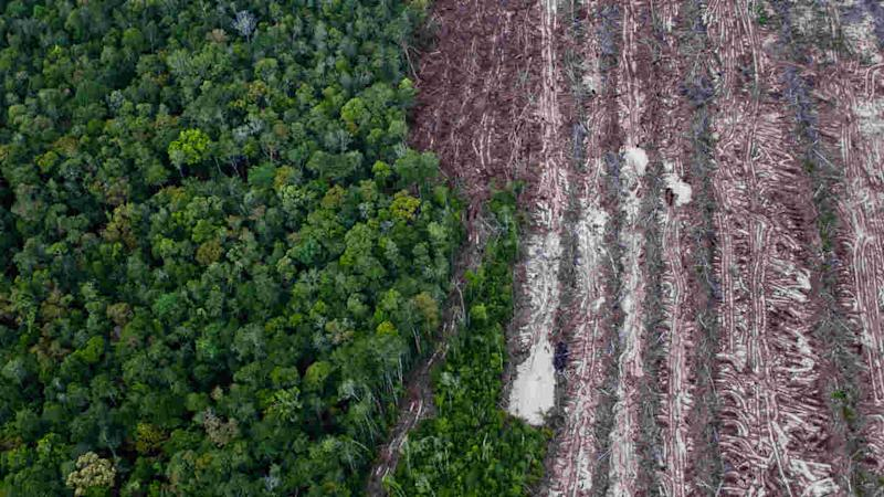 A rainforest juxtaposes with rows of cut trees from the recent clearance of forest inside the PT Wana Catur Jaya Utama palm oil concession in Mantangai, Kapuas district, Central Kalimantan. Image credit: Ulet Ifansasti / Greenpeace