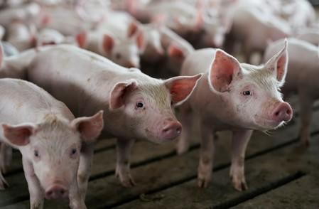 FILE PHOTO: Young pigs in a pen at a hog farm in Ryan