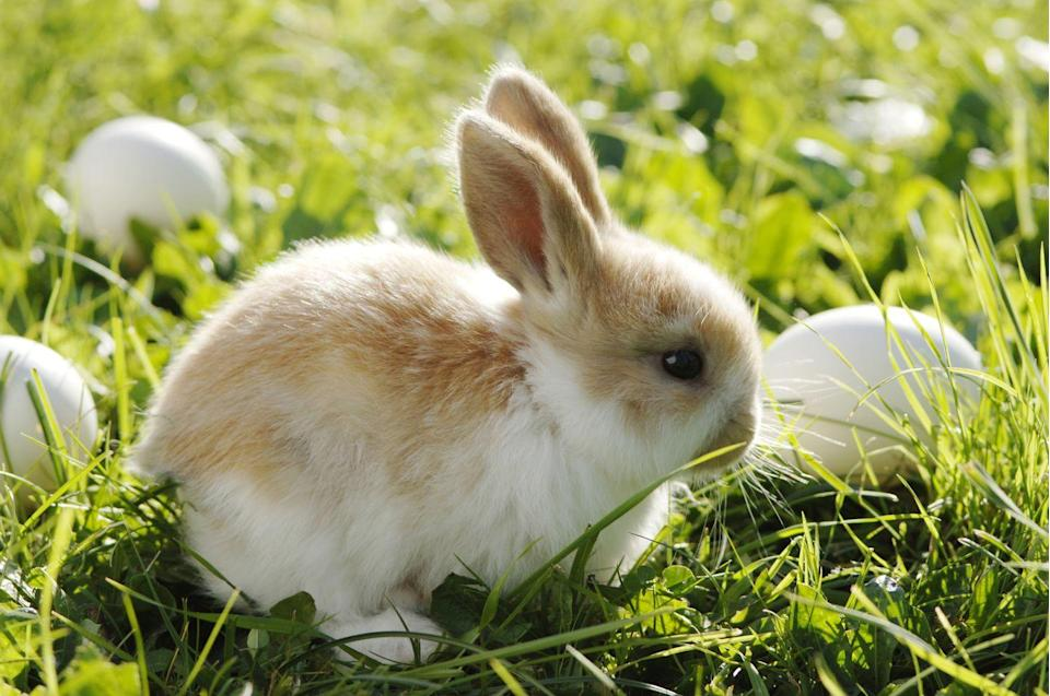 "<p>Scholars believe that Easter was named after a festival celebrating <a href=""http://time.com/4732984/easter-eggs-history-origins/"" rel=""nofollow noopener"" target=""_blank"" data-ylk=""slk:Eostre"" class=""link rapid-noclick-resp"">Eostre</a> and the coming of spring. Her sacred symbols are thought to have been <a href=""https://blogs.loc.gov/folklife/2016/04/ostara-and-the-hare/"" rel=""nofollow noopener"" target=""_blank"" data-ylk=""slk:the hare and the egg"" class=""link rapid-noclick-resp"">the hare and the egg</a>. </p>"