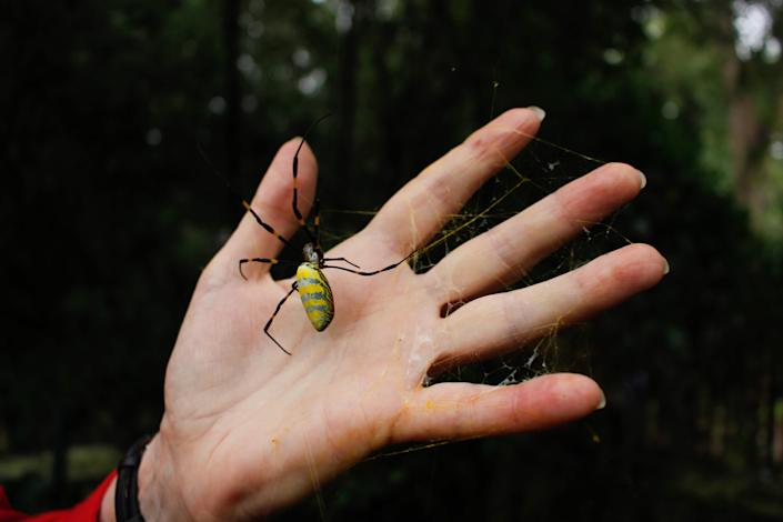 University of Georgia entomologist Nancy Hinkle compares an adult female Joro spider to the size of her hand.