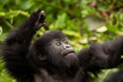 See mountain gorillas in Rwanda - Credit: GETTY