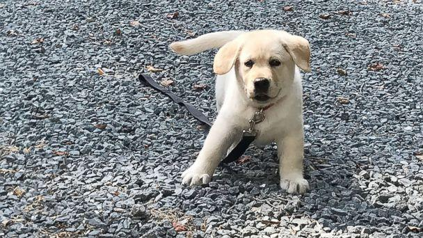 PHOTO: A 3-and-a-half-old Labrador puppy named Zoey survived an opioid overdose in Massachusetts, when her owner said the dog fell ill after chewing on a cigarette box she found on the street.  (Peter Thibault )