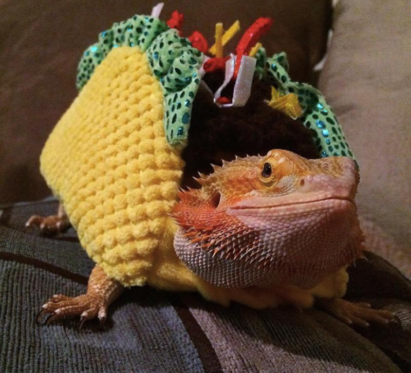 "<p>Add a little zest in your pet's life and dress them up like your favorite Tuesday treat. While this one was created for a much-loved lizard, <b><a href=""http://yahooshopping.pgpartner.com/plr.php?id=19821"" rel=""nofollow noopener"" target=""_blank"" data-ylk=""slk:you can find a costume for you pooch here"" class=""link rapid-noclick-resp"">you can find a costume for you pooch here</a>. </b> <i>Photo: Instagram/@redspantherchameleons</i></p>"
