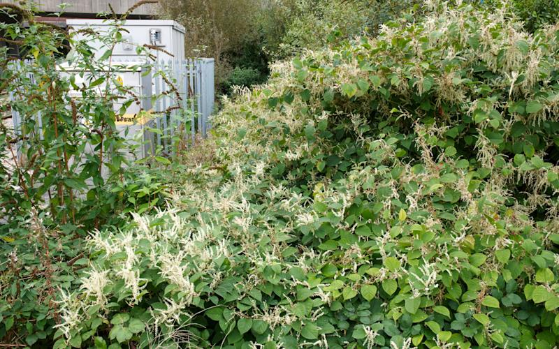 Japanese knotweed costs the economy around £166m every year in weed control and property devaluation - MkPlants / Alamy