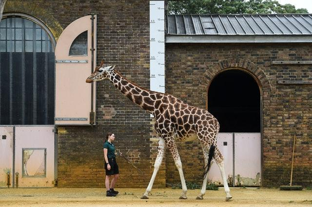 Keeper Maggie measures a giraffe during the annual weigh-in at ZSL London Zoo