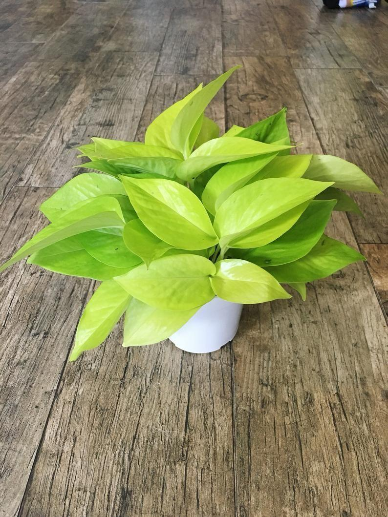 """<p><strong>Theplantchica</strong></p><p>etsy.com</p><p><strong>$18.99</strong></p><p><a href=""""https://go.redirectingat.com?id=74968X1596630&url=https%3A%2F%2Fwww.etsy.com%2Flisting%2F640541445%2F4-neon-pothos-epipremnum-aureum-air&sref=https%3A%2F%2Fwww.cosmopolitan.com%2Flifestyle%2Fg36877244%2Fbest-plants-for-kitchen%2F"""" rel=""""nofollow noopener"""" target=""""_blank"""" data-ylk=""""slk:Shop Now"""" class=""""link rapid-noclick-resp"""">Shop Now</a></p><p>This vibrant green gem can tolerate low-lit areas and will <em>still</em> thrive. So if your kitchen doesn't get hit with very many sunrays, go for this one.</p>"""