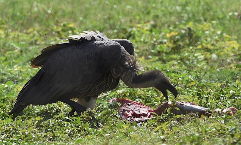 Populations of white-backed vultures have plummeted by more than 99 percent since the 1990s, according to the Pakistan branch of the World Wildlife Fund (WWF), which is desperately attempting to ensure the species does not die out (AFP Photo/ARIF ALI)