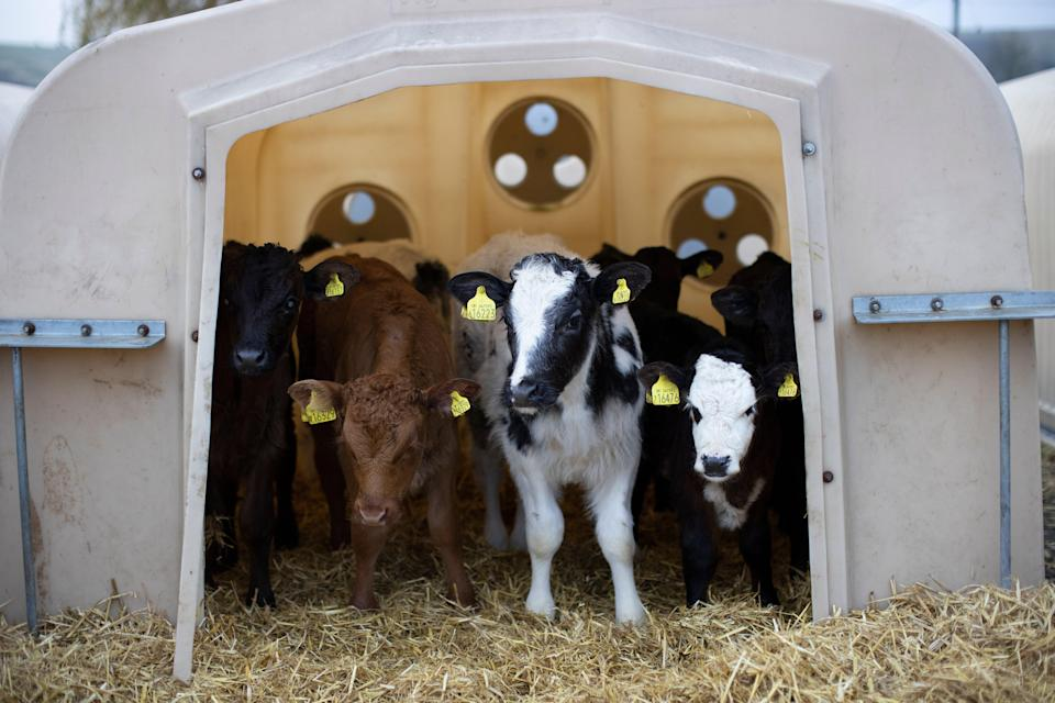 Animal agriculture emits 10 to 100 times more greenhouse gases per unit product than plant-based food, scientists say (Getty Images)