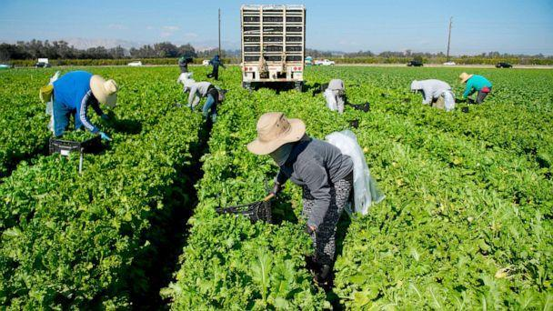 PHOTO: Farmworkers wear face masks while harvesting curly mustard in a field in Ventura County, Calif., Feb. 10, 2021. (Patrick T. Fallon/AFP via Getty Images)