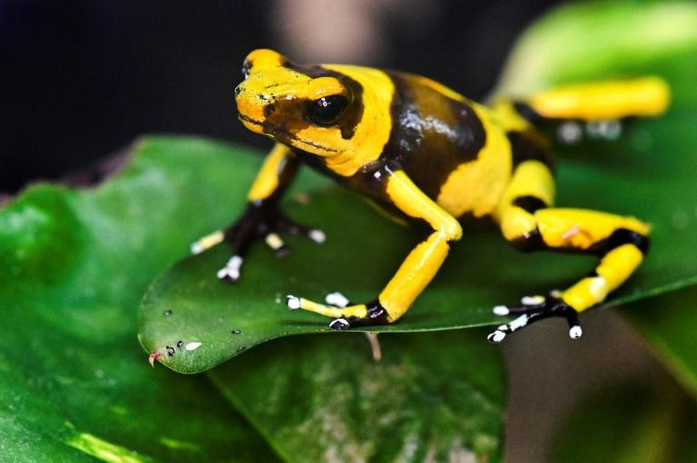 More than 40% of amphibian species worldwide are in danger of extinction, including the Lehmann's poison frog
