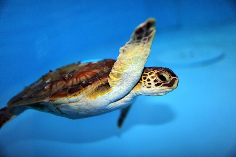 The US Fish and Wildlife Service proposed changing the status of green sea turtles, seen here, from endangered to threatened, on the basis that their populations have rebounded due to successful conservation efforts
