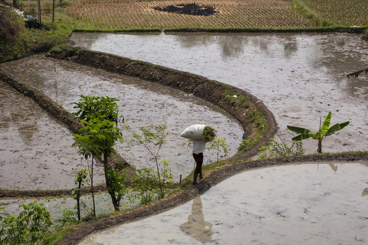 <p>A farmer walks in his rice paddy, which sits along a heavily polluted tributary of the Citarum river, on Aug. 27, 2018, outside Bandung, Java, Indonesia. (Photo: Ed Wray/Getty Images) </p>