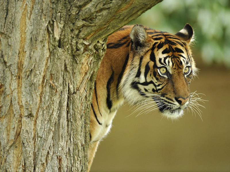 Last refuge: about a third of the world's tigers – there are less than 4,000 left – now live in protected sites: Rex