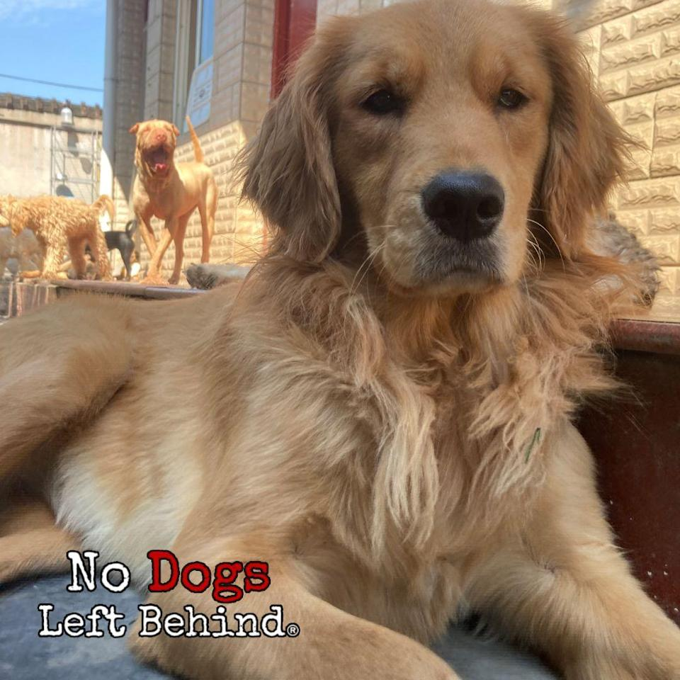 A Golden Retriever rescued by No Dogs Left Behind patiently waits to go home to the USA.