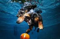 A diving dachshund goes after a sinking tennis ball, with all his might!