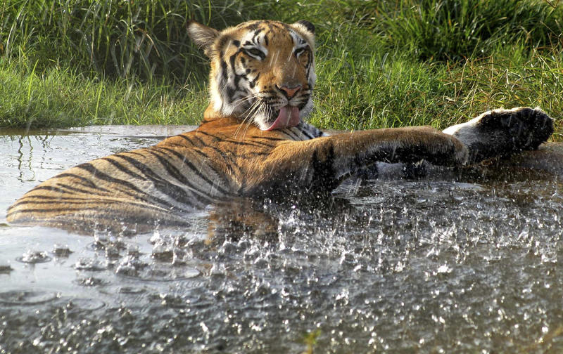 FILE - In this June 2, 2004 file photo, a Bengal tiger cools off in a small pond of water at Van Vihar National Park in Bhopal. Maharashtra, a western Indian state, on Tuesday, May 22, 2012 declared war on animal poaching by sanctioning its forest guards to shoot hunters on sight in an effort to curb rampant attacks against tigers, elephants and other wildlife. About half of the world's estimated 3,200 tigers are in dozens of Indian reserves set up since the 1970s. (AP Photo/Prakash Hatvalne, File)
