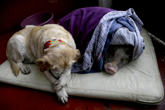 <p>Algeria, left, and Jacinto, rest at a temporary home in the aftermath of a 7.1-magnitude earthquake, in Mexico City, Friday, Sept. 22, 2017. (Photo: Natacha Pisarenko/AP) </p>