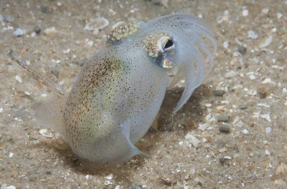 Seminal Study: Hungry Female Squid Snack on Sperm