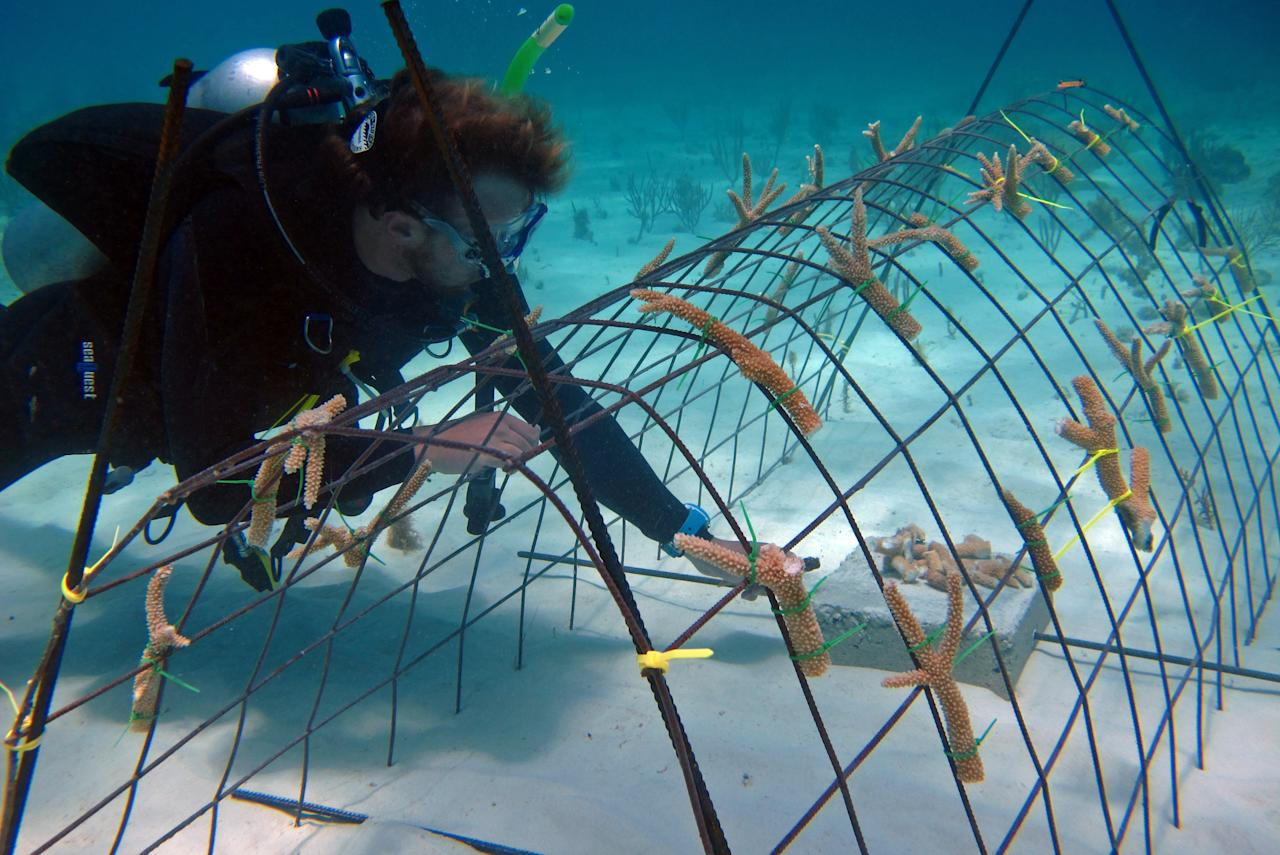 "In this May 30, 2012 photo released by the Puntacana Ecological Foundation, a diver works on a coral reef restoration program in Punta Cana, Dominican Republic. According to the International Union for Conservation of Nature, live coral coverage in the Caribbean is down to an average of just 8 percent, from 50 percent in the 1970s. Caribbean islands ranging from Bonaire to the U.S. Virgin Islands, conservationists are rearing and planting fast-growing coral species to try and turn things around by ""seeding"" reefs. (AP Photo/Puntacana Ecological Foundation, Victor Manuel Galvan)"
