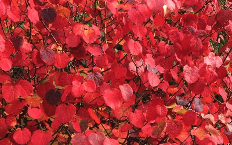 Disanthus makes for a beautiful red display over autumn - Alamy