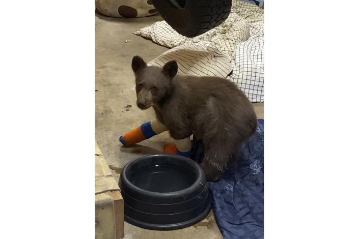 """FILE - In this July 31, 2021, file photo provided by Lake Tahoe Wildlife Care, is a bear cub that was taken in for treatment to Lake Tahoe Wildlife Care in South Lake Tahoe, Calif., after it suffered burns in a California wildfire. Wildlife officials are asking for the public's help in locating the bear cub that escaped from the animal rescue center where he was being treated. The 6-month-old black bear nicknamed """"Tamarack"""" after the fire that burned his paws, escaped his enclosure and managed to tunnel under an electric fence at Lake Tahoe Wildlife Care, the center said in a statement on Tuesday, Aug. 3. (Lake Tahoe Wildlife Care via AP, File)"""