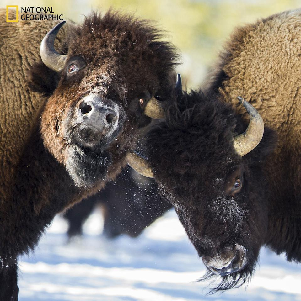 <p>Photo and Caption by S. Dere/2016 National Geographic Nature Photographer of the Year. — A pair of Bison square of in the middle of the heard for dominance. </p>