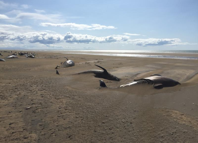 Dozens of Dead Pilot Whales Found Beached in Iceland