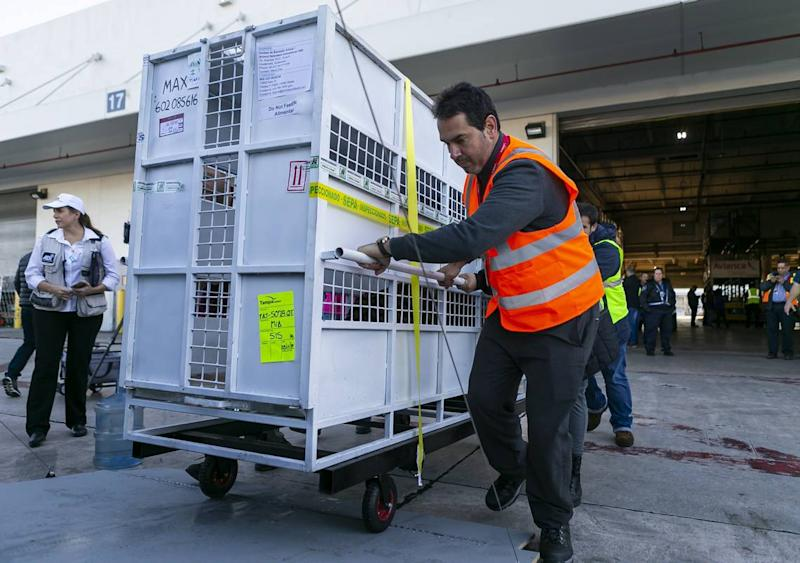 Max, a Bengal tiger, sits in his cage as Avianca cargo employees work to load him into a van at Miami International Airport on Monday, Nov. 25, 2019. Max, Simba and Kimba, who were rescued from a circus in Guatemala by Animal Defenders International, are being sent to an animal sanctuary, Big Cat Rescue, in Tampa.