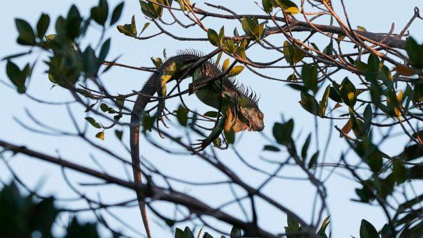 PHOTO: An iguana lies draped on a tree, Jan. 22, 2020, in Surfside, Fla. (Wilfredo Lee/AP)