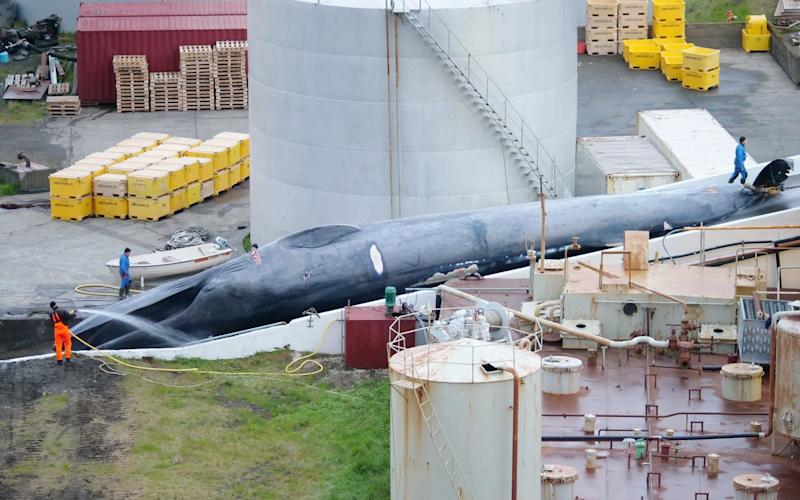 An Icelandic whaling company has been accused of killing an endangered blue whale, the first in 40 years  - Hard to Port International