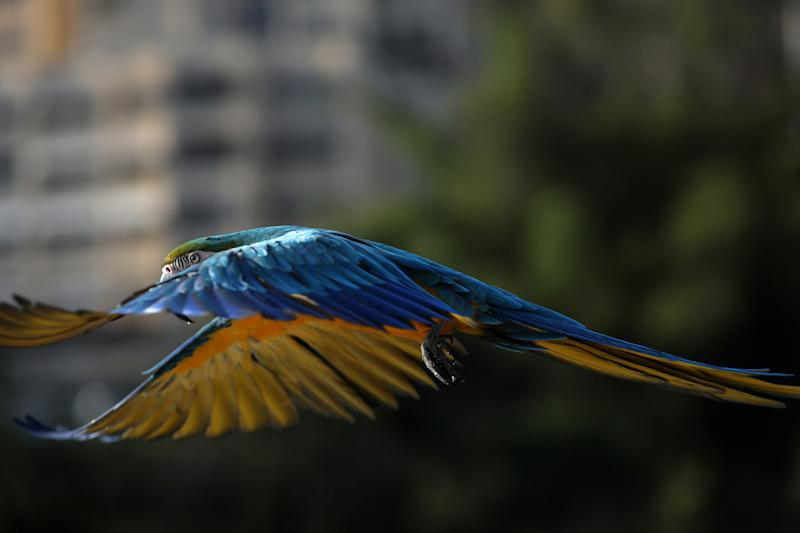 A macaw flies in Caracas, Venezuela, June 12, 2019. (Photo: Manaure Quintero/Reuters)