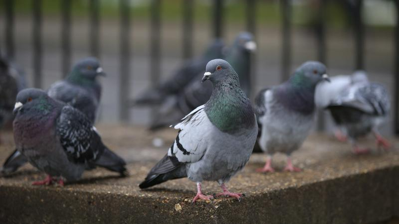 Influencer pigeons sway the flock's flight, study suggests