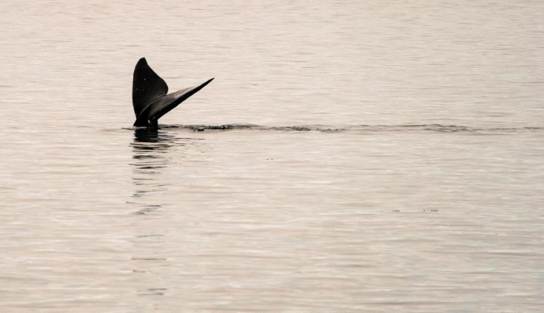 A North Atlantic right whale swims in the waters of Cape Cod Bay near Provincetown, Massachusetts
