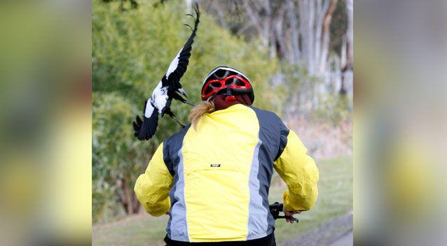 A postman has revealed his genius trick to stop magpies swooping during spring. Photo: AAP