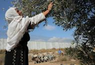 A Palestinian woman collects olives during harvest in a field adjacent to Israel's controversial separation barrier in the village of Dura, near Hebron