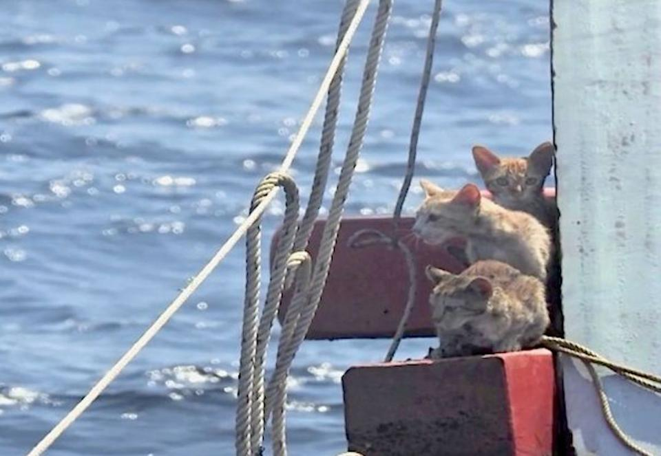 After the crew was removed from the capsized boat, the Thai Navy sailors noticed four ginger cat huddled together on a wooden beam. (Photo: Reuters)