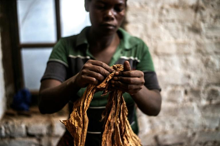 """Tobacco is known locally in Malawi as """"green gold"""", but the southern African nation must wrestle with allegations of child labour if the industry is to have a future (AFP Photo/GIANLUIGI GUERCIA)"""