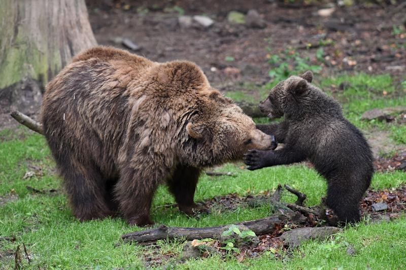 Bears outwit hunters by staying with cubs longer