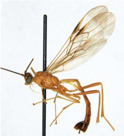 This picture shows, Cystomastacoides nicolepeelerae, named after the lead author's favorite novelist Nicole Peeler.