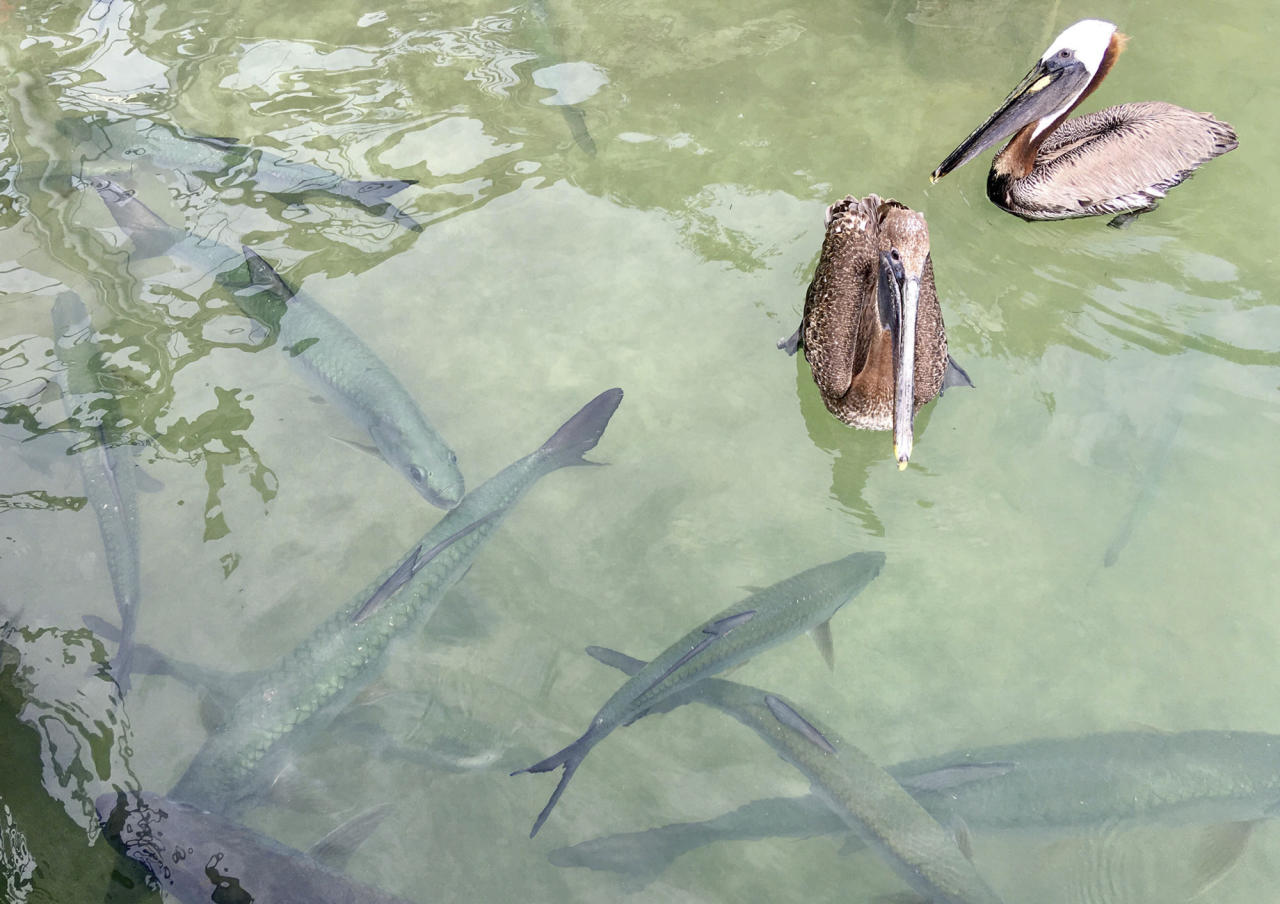 This photo taken Thursday, June 8, 2017, at Islamorada, Florida, shows tarpon and pelicans swimming at a dock at Robbie's Marina, where tourists can feed the huge fish by hand. The marina is on the Overseas Highway, which links Florida's mainland with Key West. Some tourists drive straight through without stopping along the way to see the sights and attractions. (AP Photo/Jay Reeves)