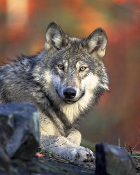 This April 18, 2008 photo released by the U.S. Fish and Wildlife Service shows a gray wolf. The Obama administration on Friday, June 7, 2013 proposed lifting most of the remaining federal protections for gray wolves across the mainland states, a move that would end four decades of recovery efforts but has been criticized by some scientists as premature. A rule being proposed by the U.S. Fish and Wildlife Service to remove most species of wolves from the endangered species list would end federal protection for any wolves that move into upstate New York or northern New England from Canada or elsewhere. (AP Photo/U.S. Fish and Wildlife Service)