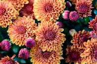 <p>When it comes to keeping bugs out of your garden, chrysanthemums are the pick for you. Pyrethrum, the chemical found in these flowers, repels ants, Japanese beetles, roaches, bed bugs, spider mites, ticks, lice, and more.</p>