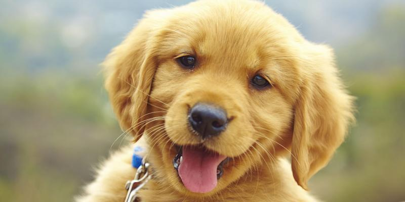 Study finds dogs recognize human words regardless of intonation