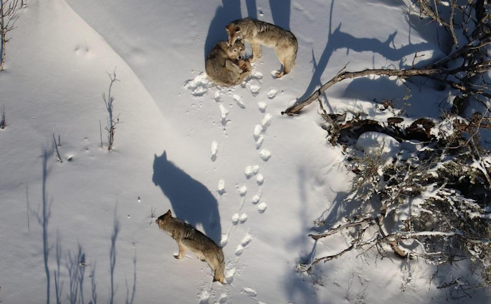 In this February 2020 photo, two uncollared wolves are seen in the company of a bedded, collared female that was brought by the National Park Service to Isle Royale from Michipicoten Island in eastern Lake Superior.