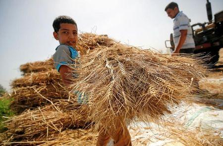 A son of farmer carries freshly harvested wheat in a field in Qaha, El-Kalubia governorate, northeast of Cairo