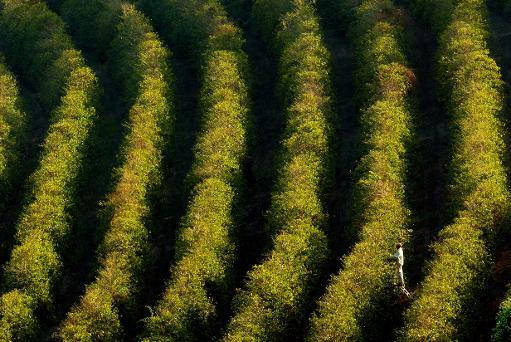 Brazil expects lower arabica coffee production in 2014