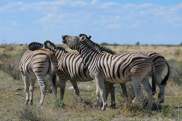 <p>A zebra lifts his head up toward the sky as if laughing while other zebras graze in the plains of Etosha National Park. (Photo: Gordon Donovan/Yahoo News) </p>
