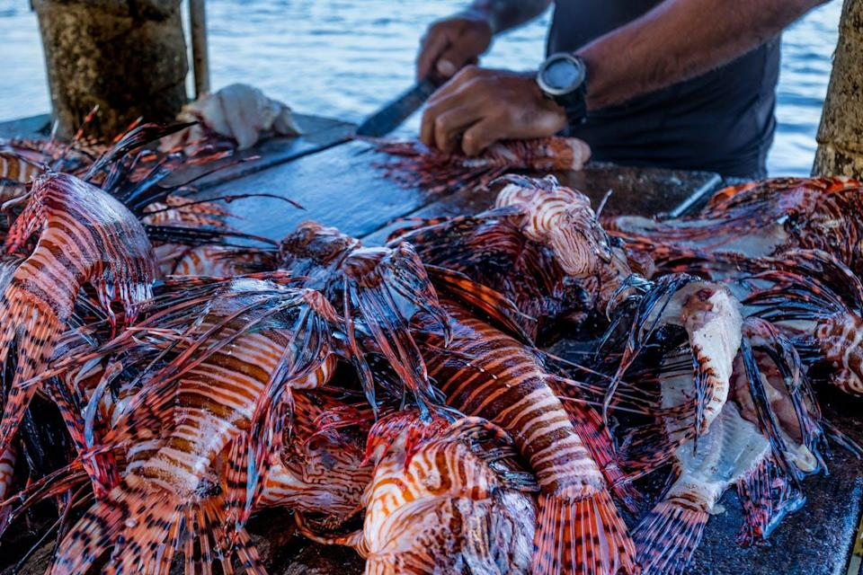 A man prepares lionfish with a knife.
